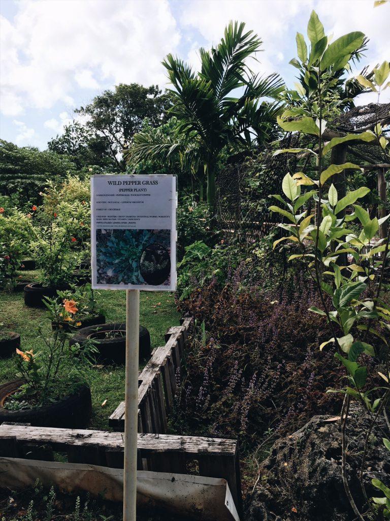 Wild Pepper Grass medicinal